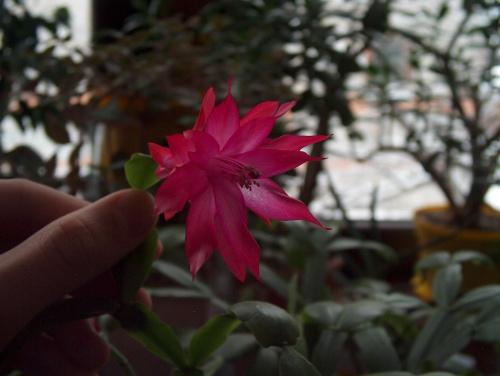 nudziło mi sie a pare kwiatków zakwitła :D zdj robione 25.01.2007r