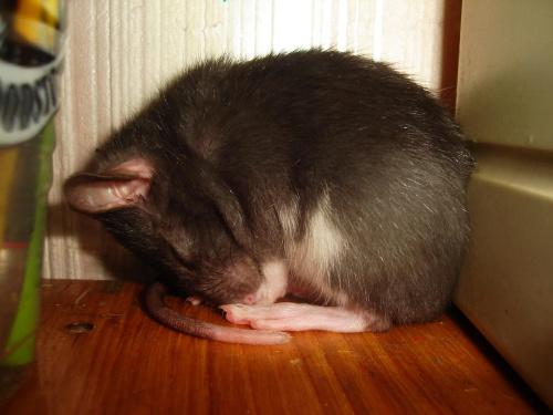 #SzczurSzczurekSzczurkiSzczury