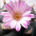 lophophora jourdaniana kwiat #kaktus #kwiat #lophophora #pejotl #peyote