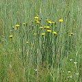 Kwiaty polne #polne