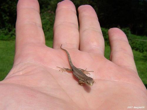 ...jak na dłoni...:o) #jaszczurka #dłoń